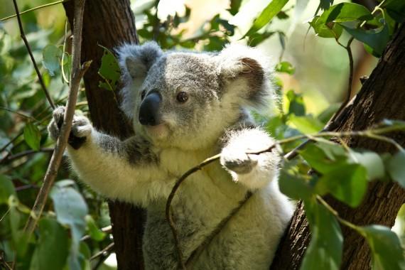 koala-74908_1920